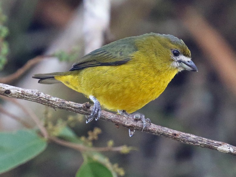 Golden-bellied Euphonia - Charley Hesse TROPICAL BIRDING
