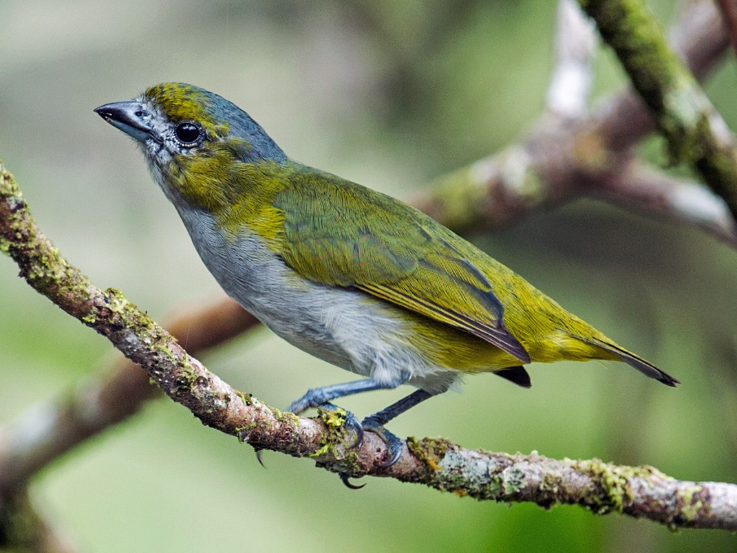 Golden-bellied Euphonia - Nick Athanas