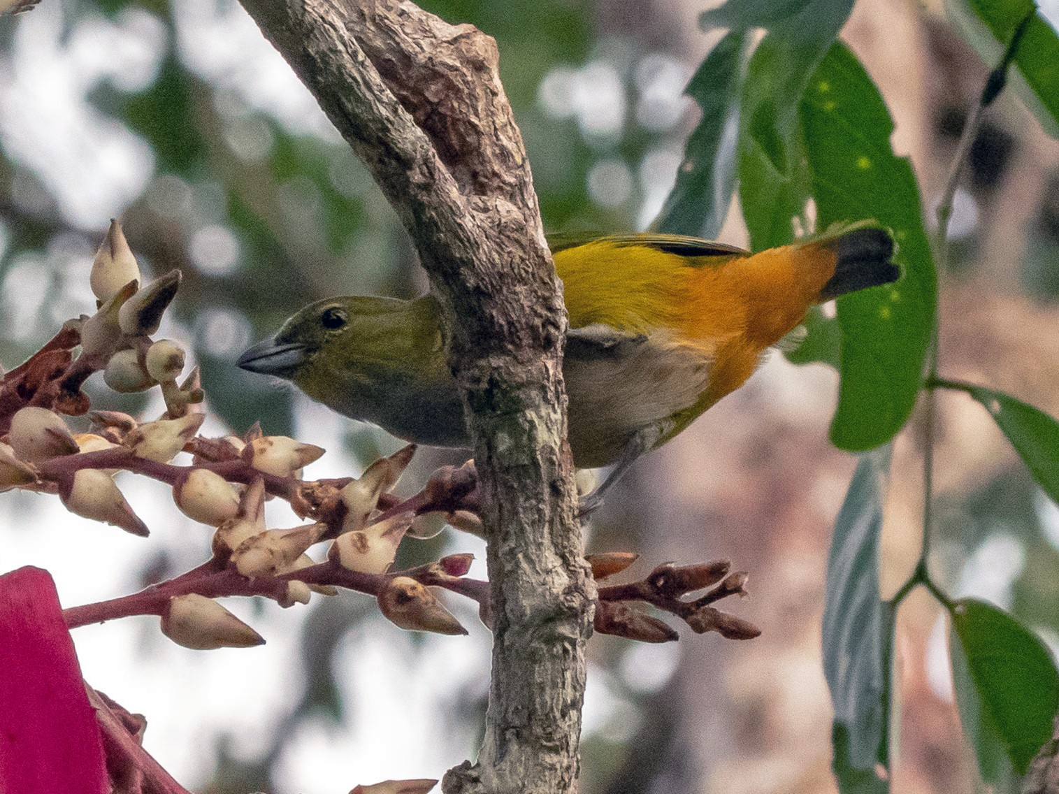 Rufous-bellied Euphonia - Phil Kahler