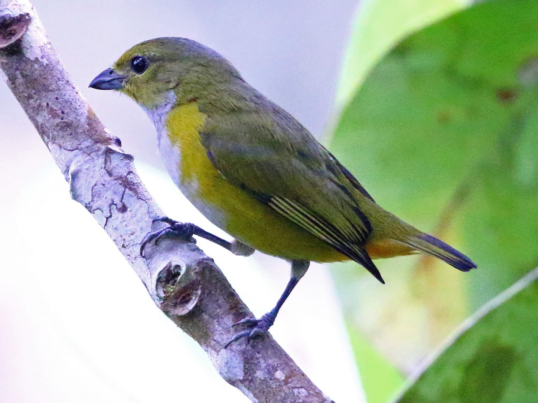Rufous-bellied Euphonia - David Bird