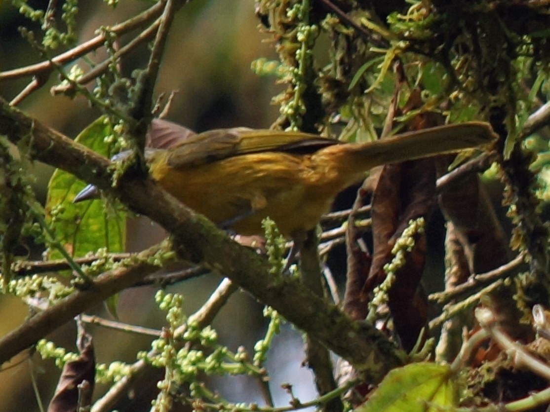 Yellow-crested Tanager - Robin Oxley