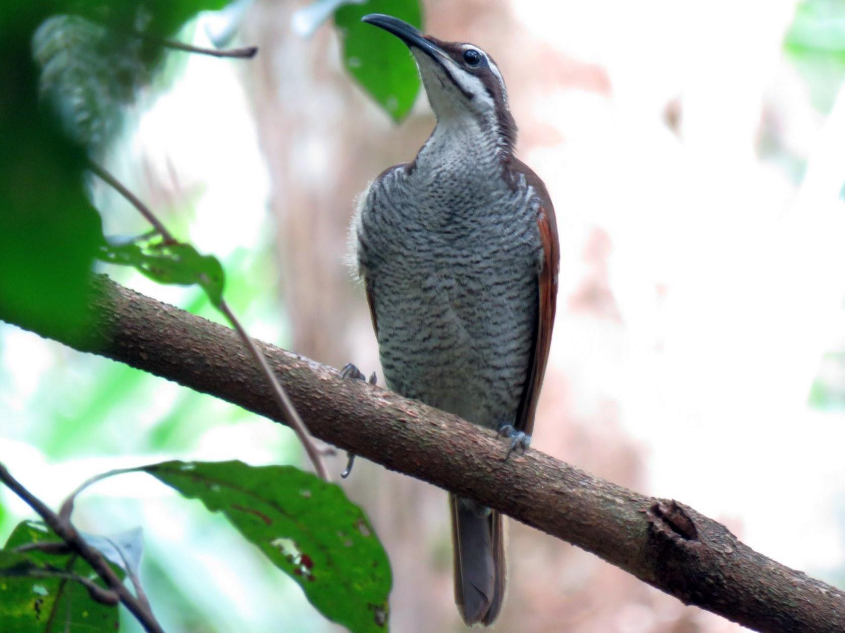 Magnificent Riflebird - Greg Neill