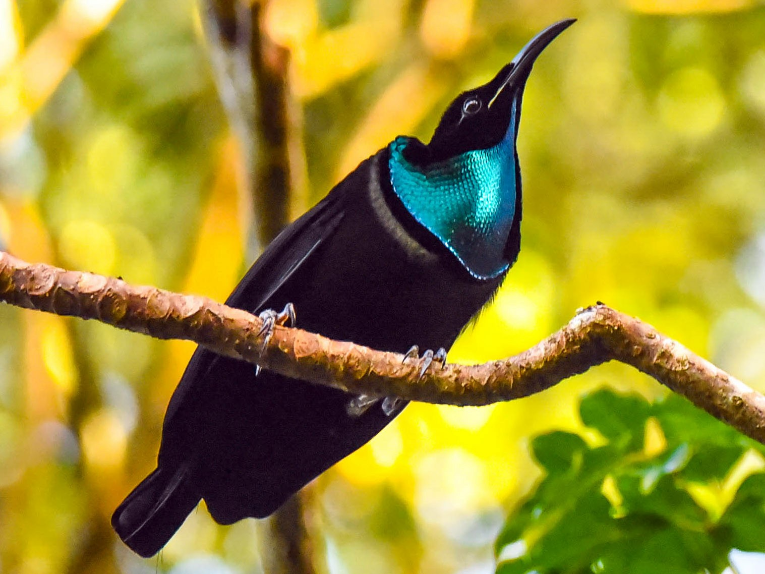 Magnificent Riflebird - Greg McKay