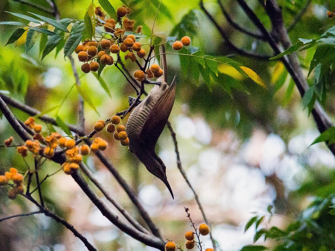 Magnificent Riflebird - Jan Lile