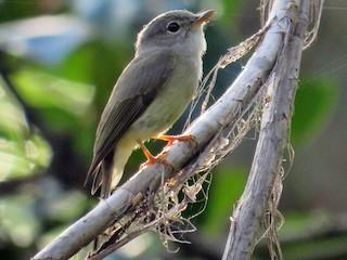 - Yellow-legged Flycatcher
