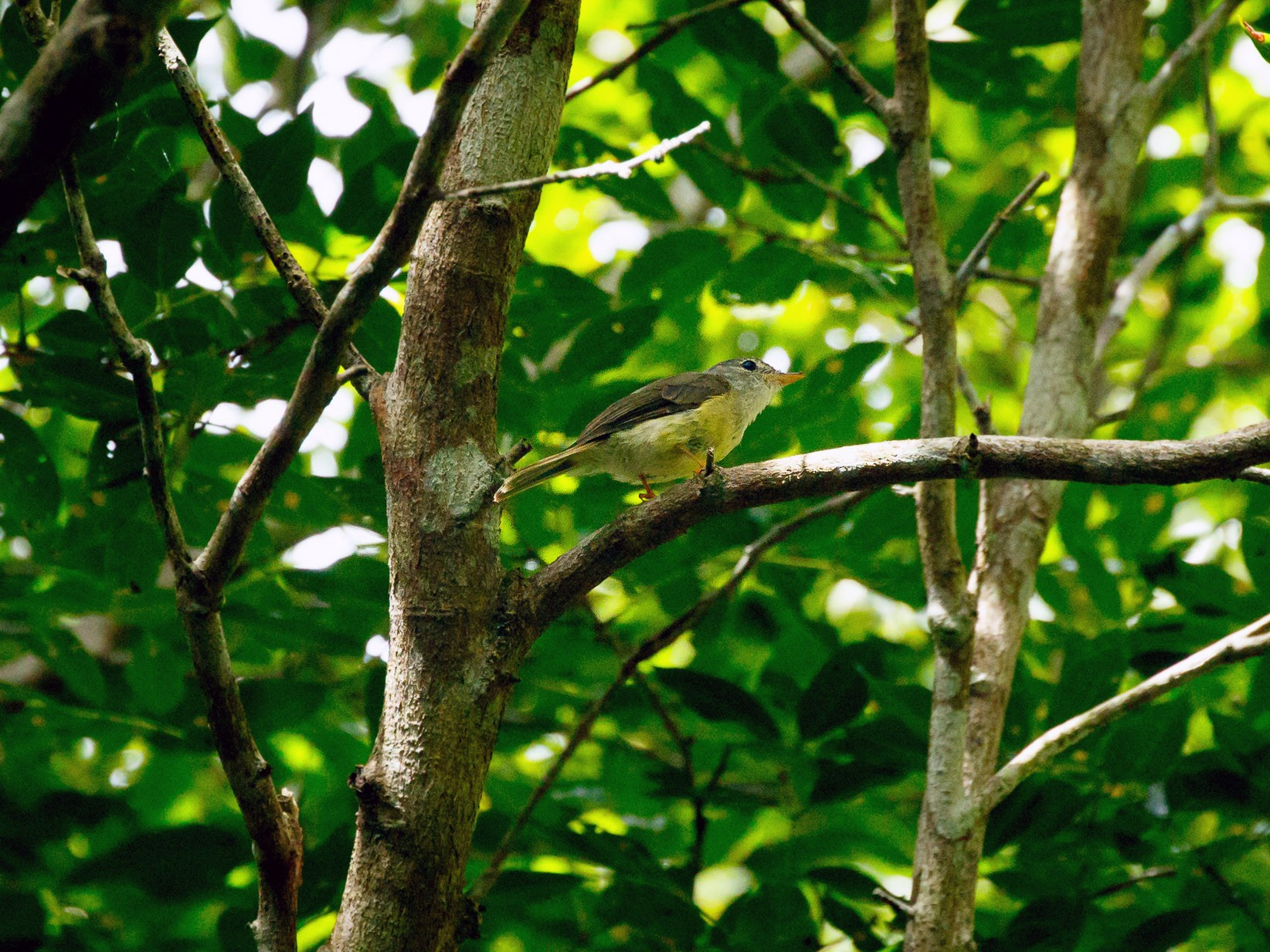Yellow-legged Flycatcher - Luke Shelley