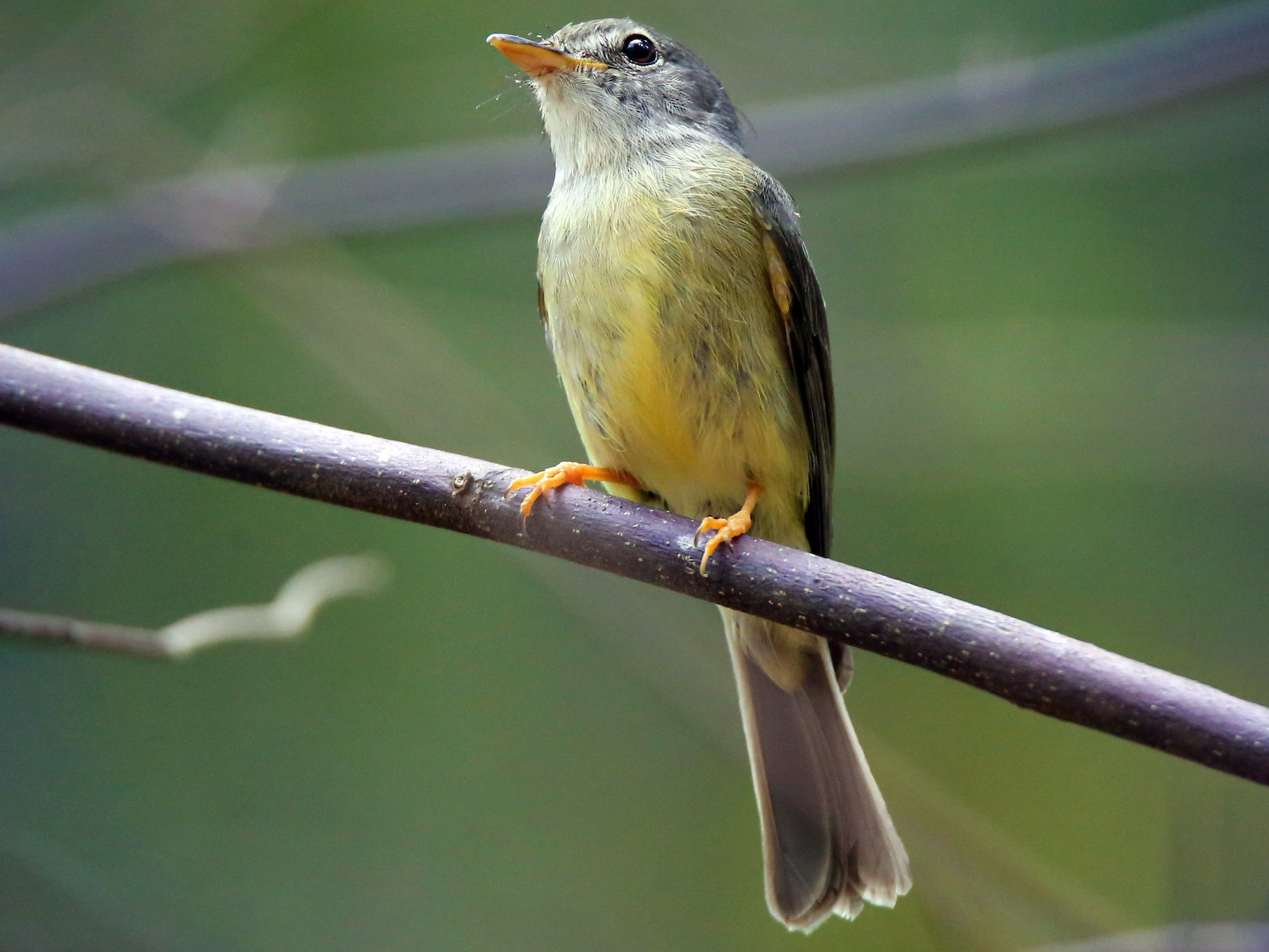 Yellow-legged Flycatcher - Doug Herrington || Birdwatching Tropical Australia Tours