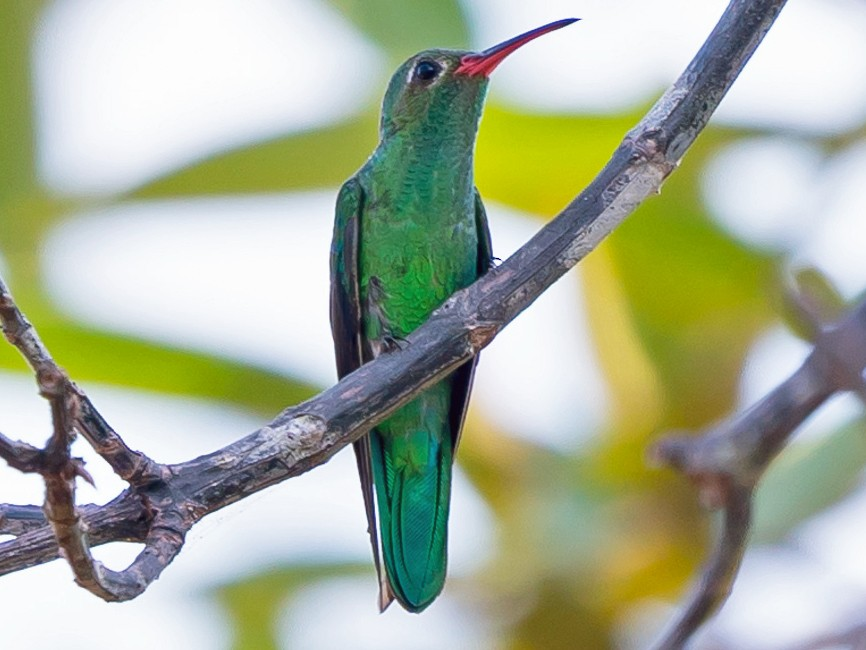 Green-tailed Goldenthroat - Joao Quental JQuental