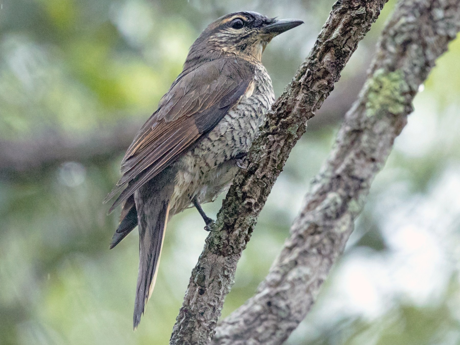 Common Cicadabird - David Irving