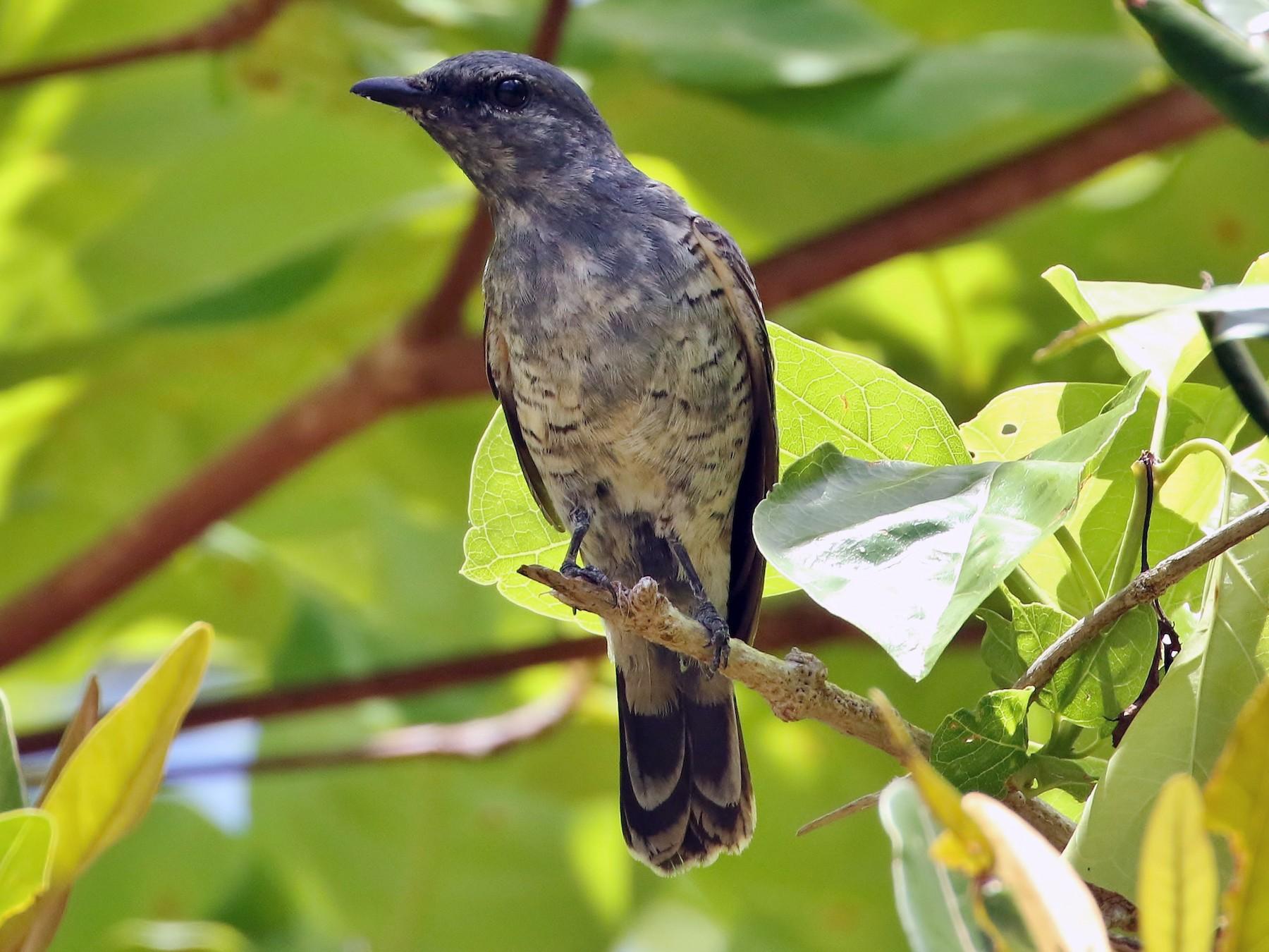 Common Cicadabird - Thibaud Aronson