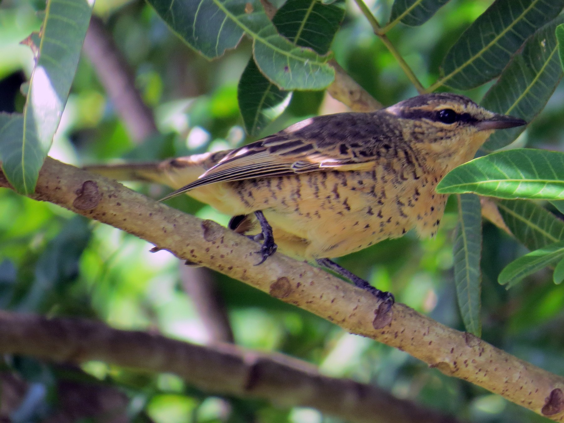 Common Cicadabird - Kirk  LaGory