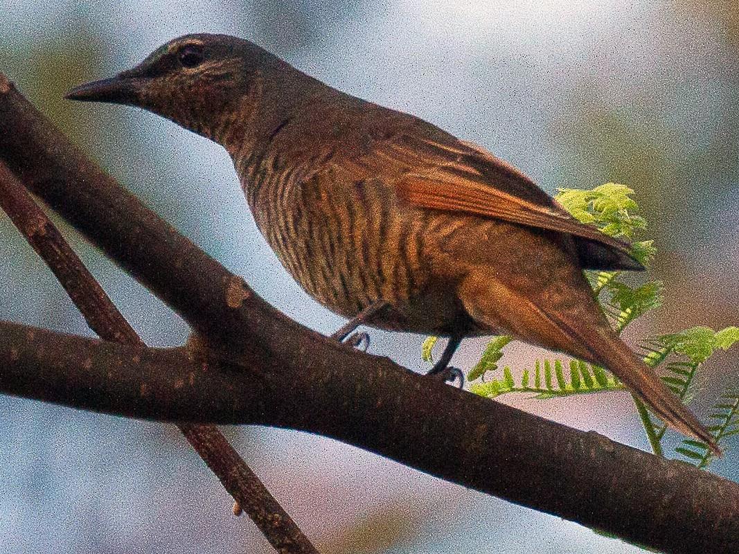 Common Cicadabird - Eric VanderWerf