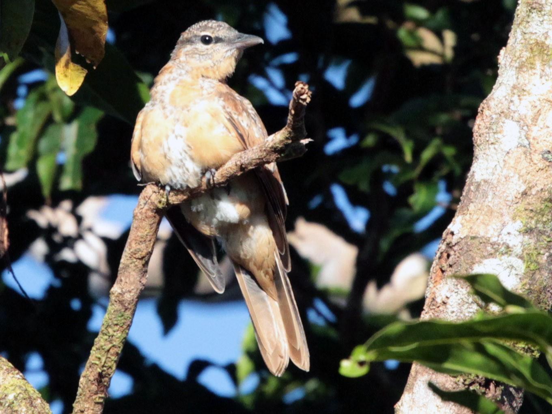 Common Cicadabird - Corey Callaghan