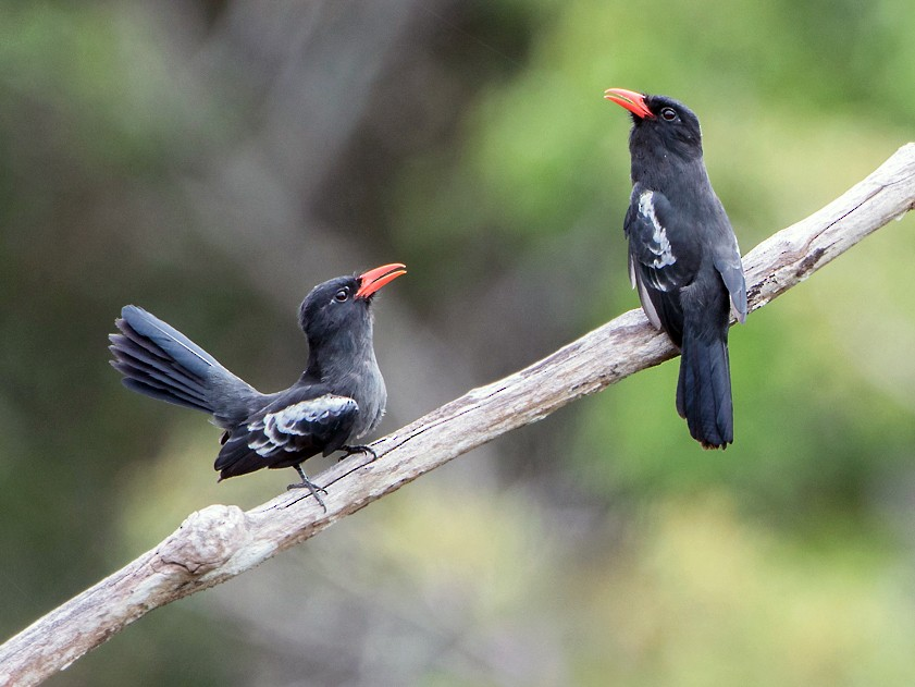 Black Nunbird - Norton Santos