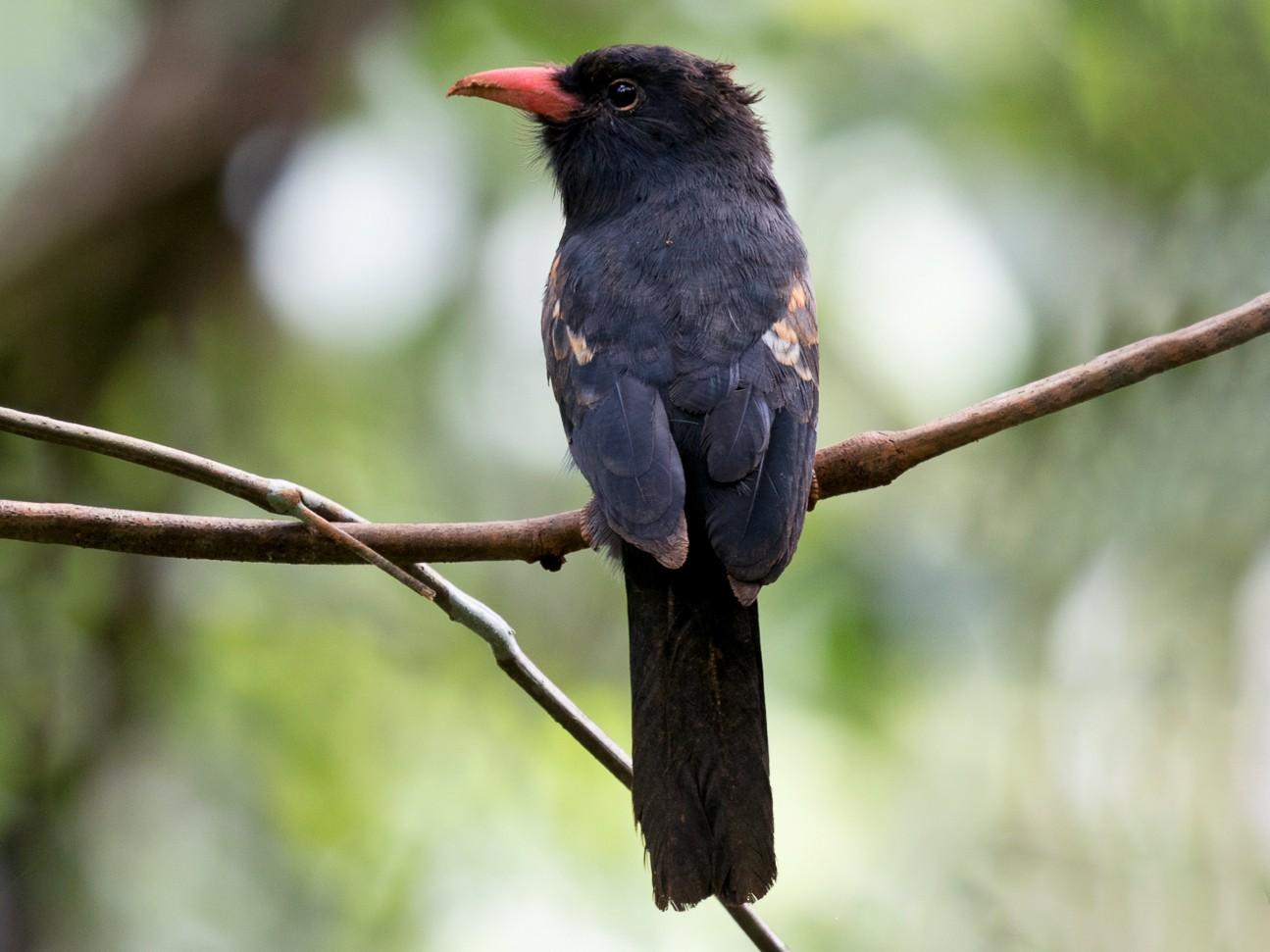 Black Nunbird - Silvia Faustino Linhares