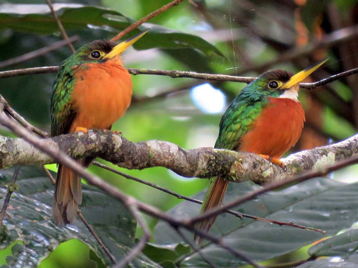 Yellow-billed Jacamar - Maria Antonietta Castro Pivatto