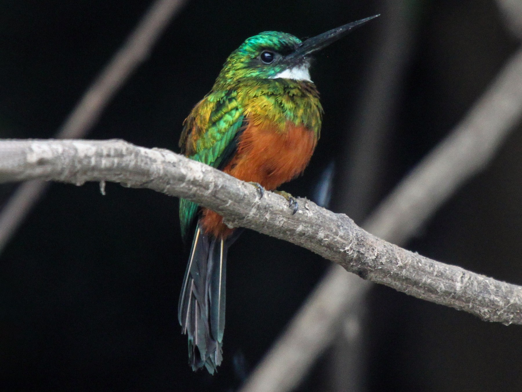 Green-tailed Jacamar - Bradley Davis