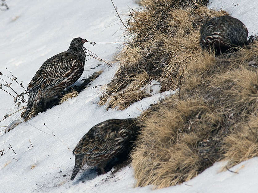 Snow Partridge - Sandip Das