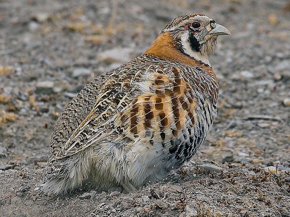 Tibetan Partridge - Saurabh Sawant
