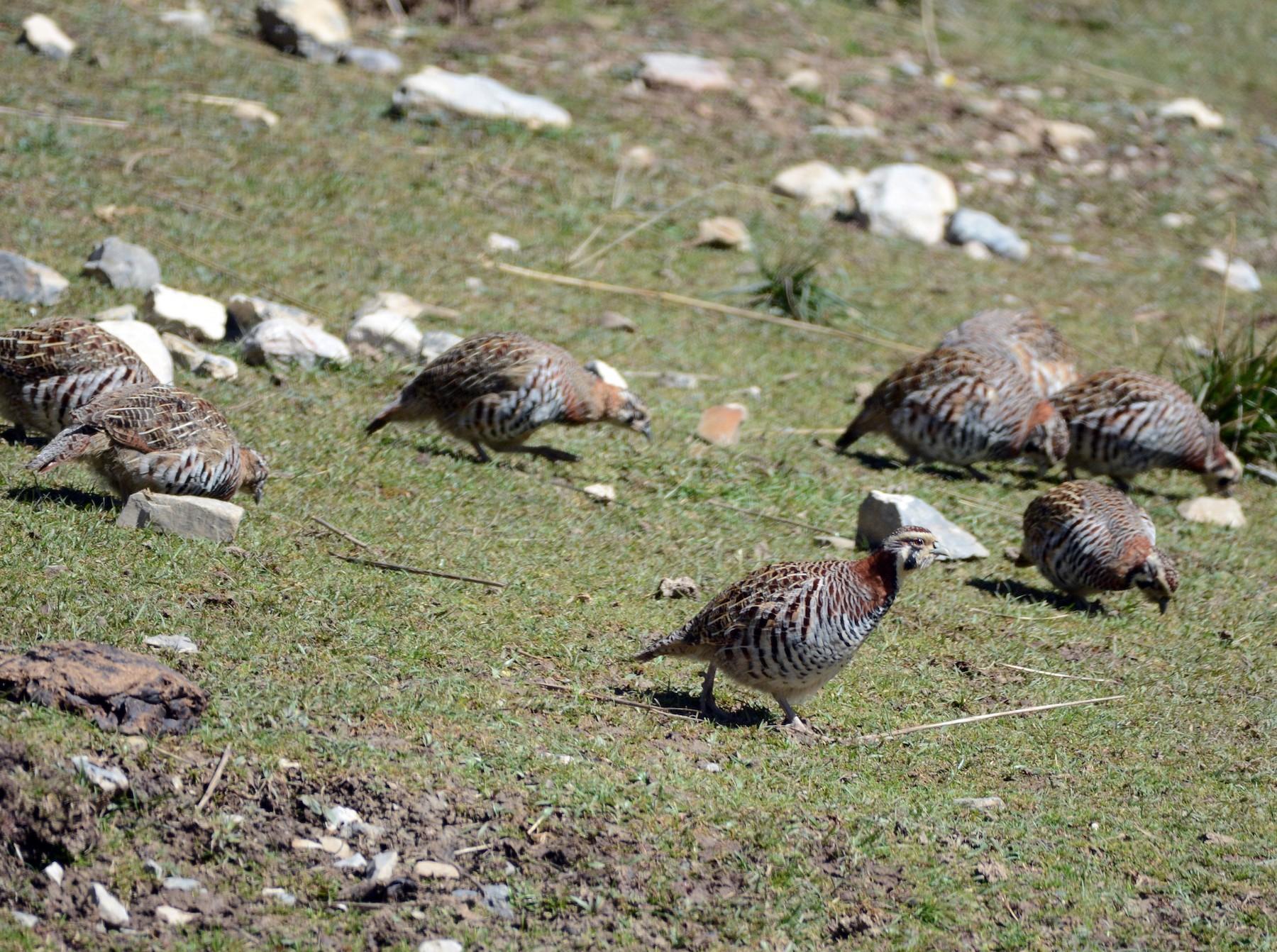 Tibetan Partridge - Cathy Pasterczyk