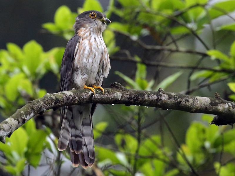 Hodgson's Hawk-Cuckoo - Albin Jacob