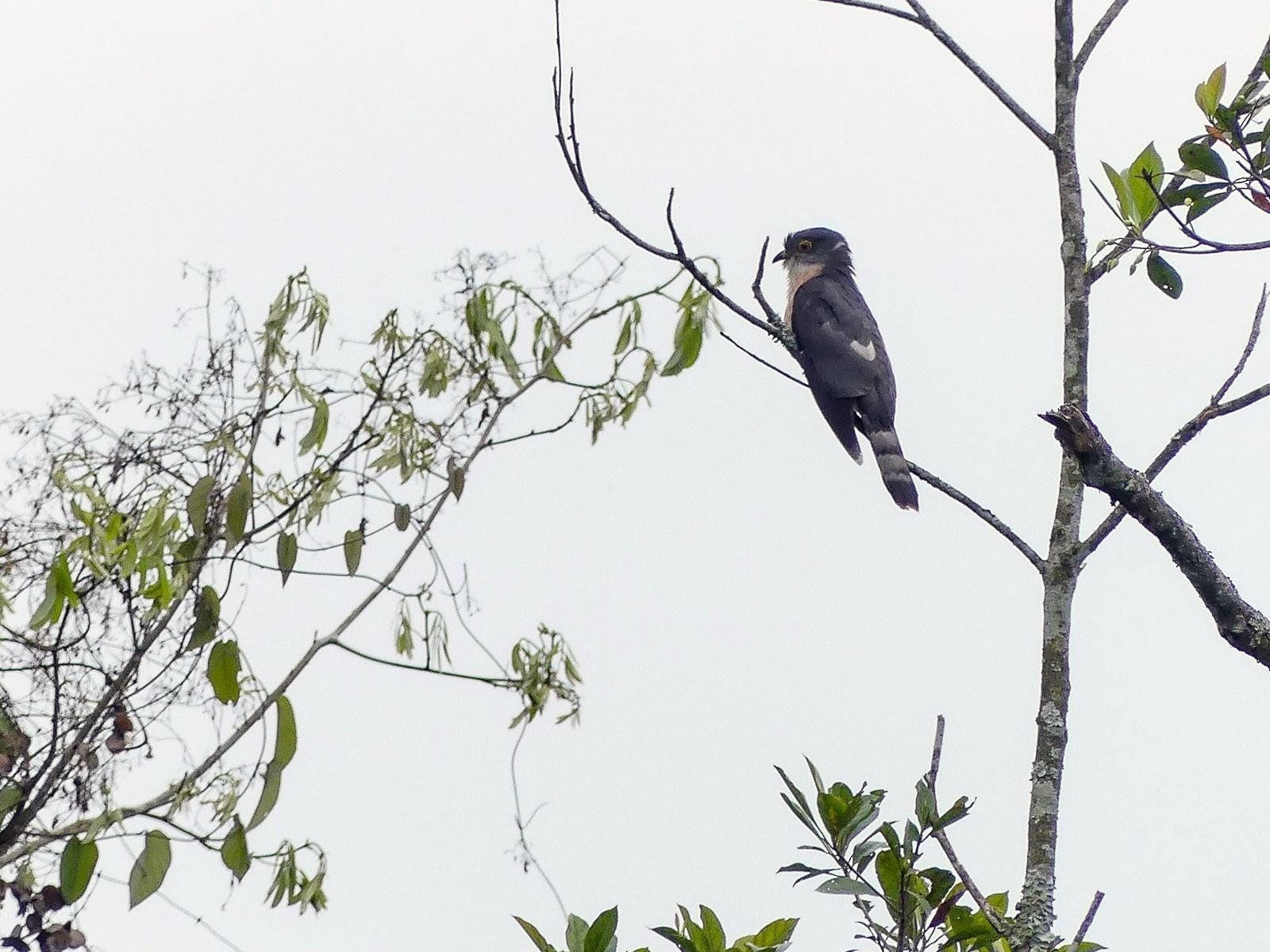Hodgson's Hawk-Cuckoo - Mike Prince