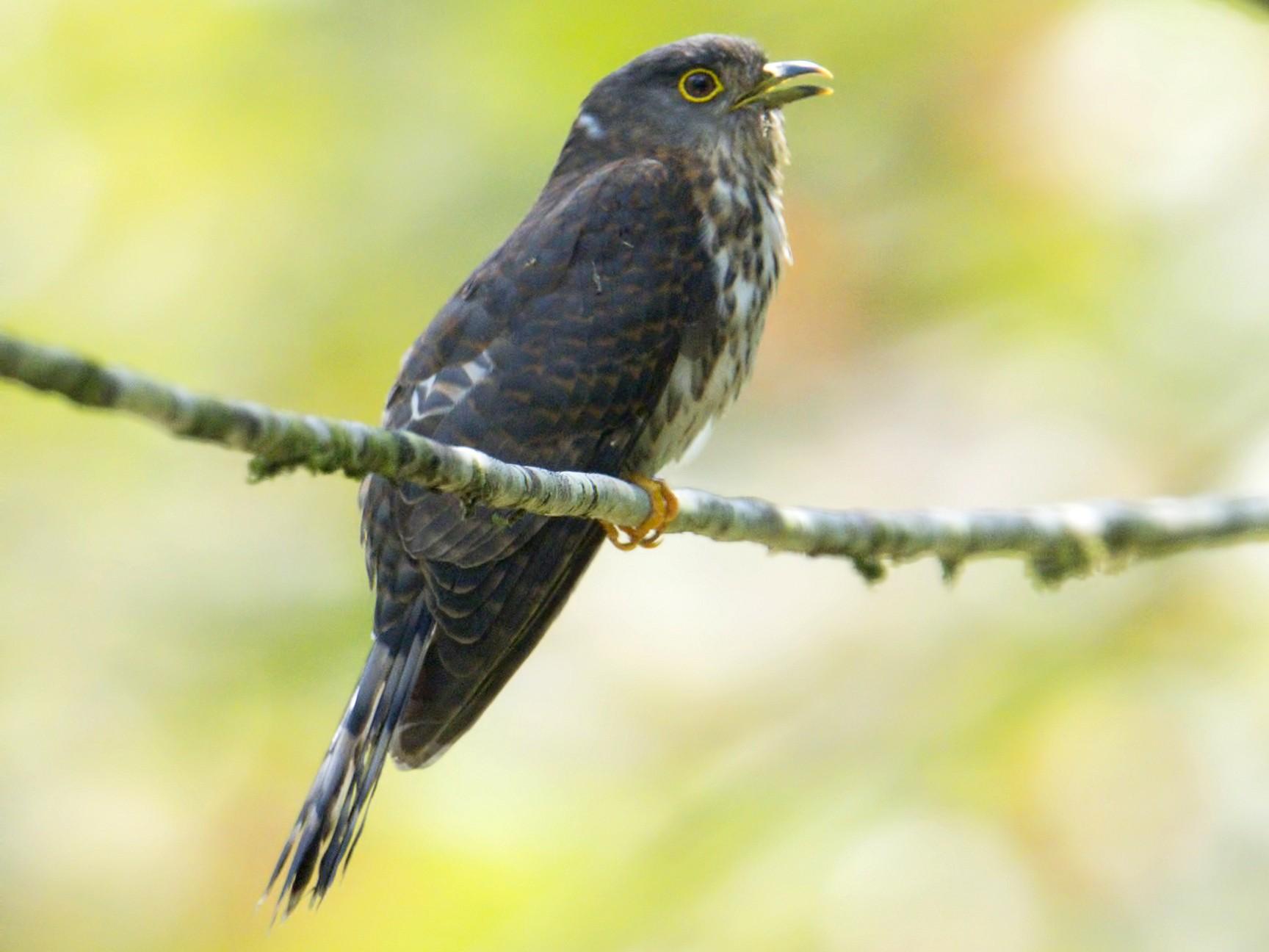 Hodgson's Hawk-Cuckoo - Harish Thangaraj
