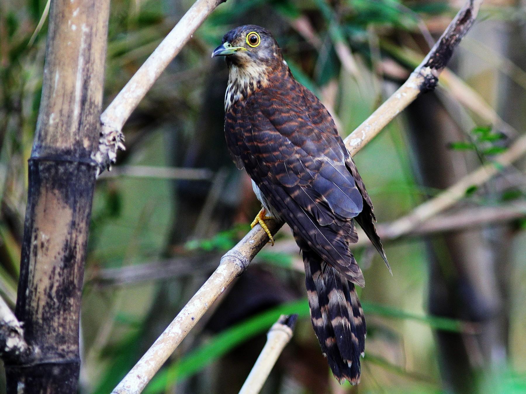 Hodgson's Hawk-Cuckoo - Krit Adirek