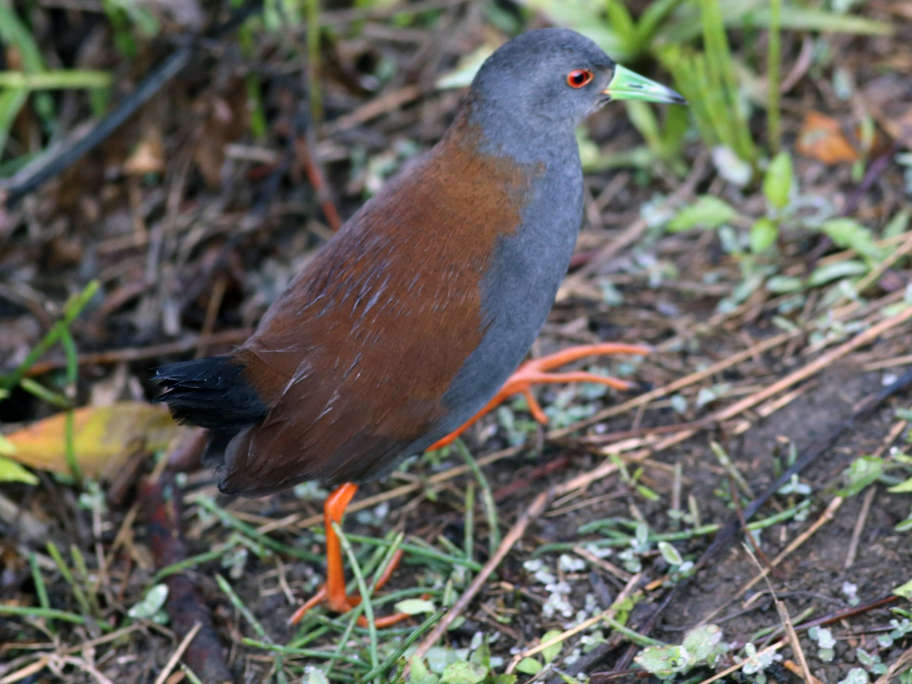 Black-tailed Crake - Peter Hosner