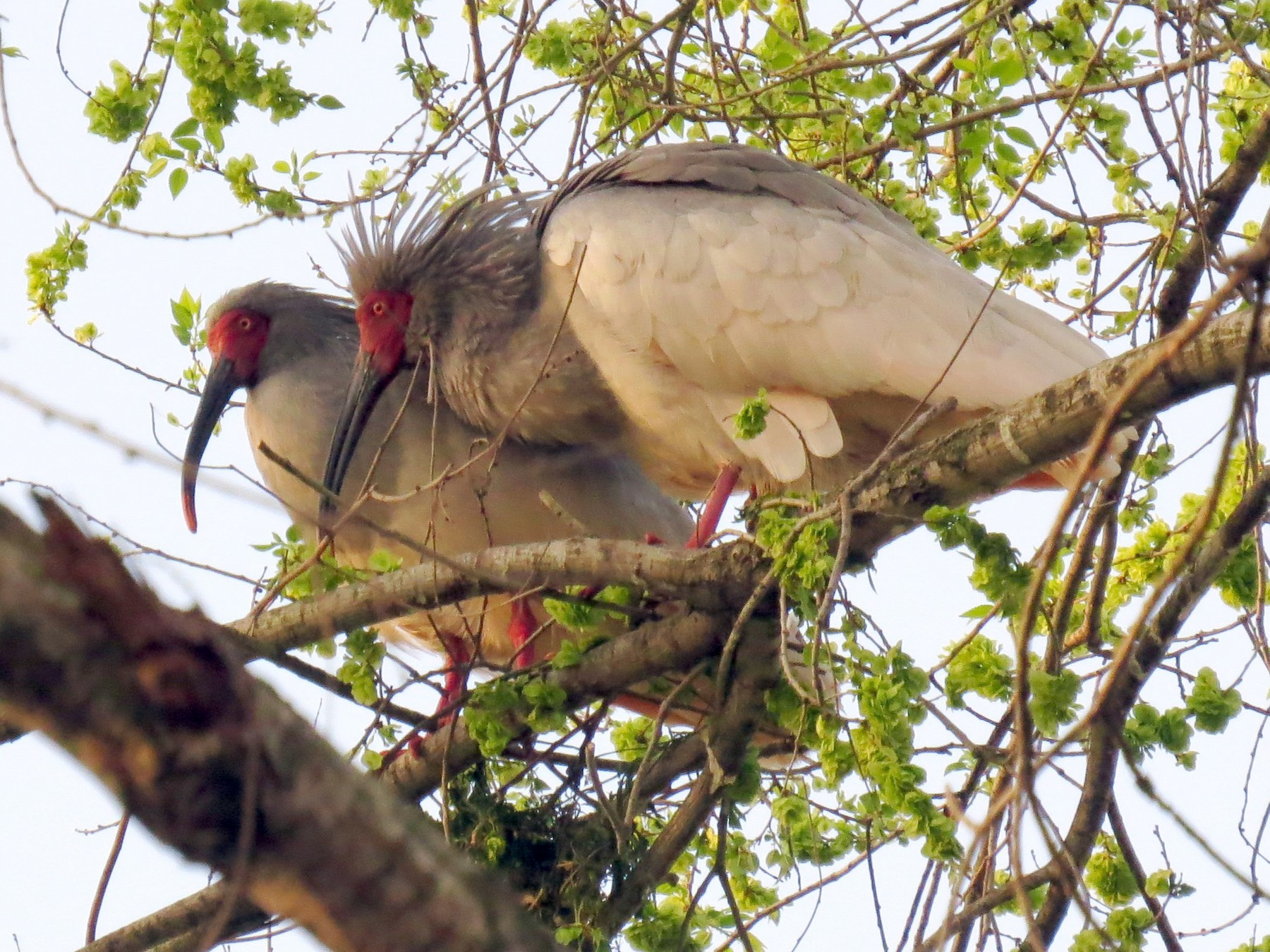 Crested Ibis - Mark Smiles