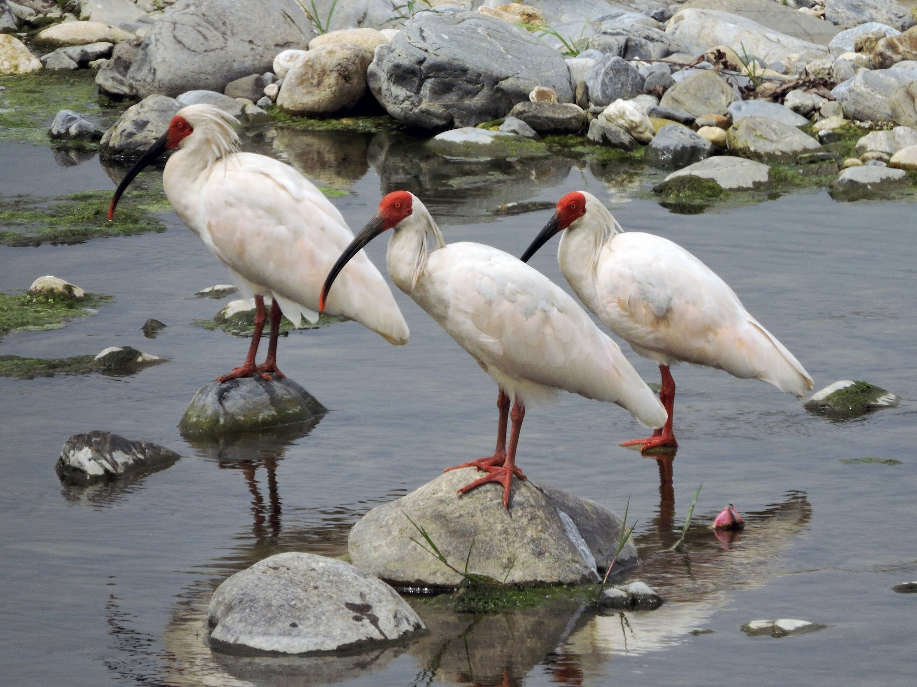 Crested Ibis - Mark w11 Kulstad