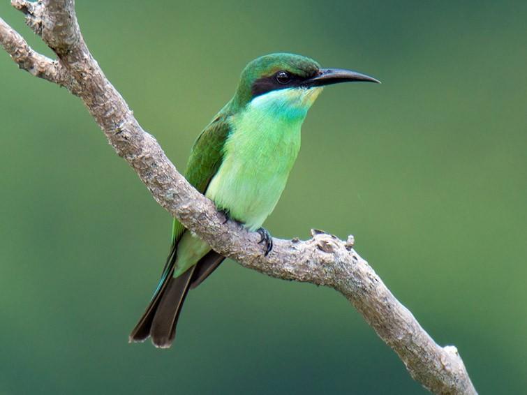 Blue-throated Bee-eater - Wich'yanan (Jay) Limparungpatthanakij