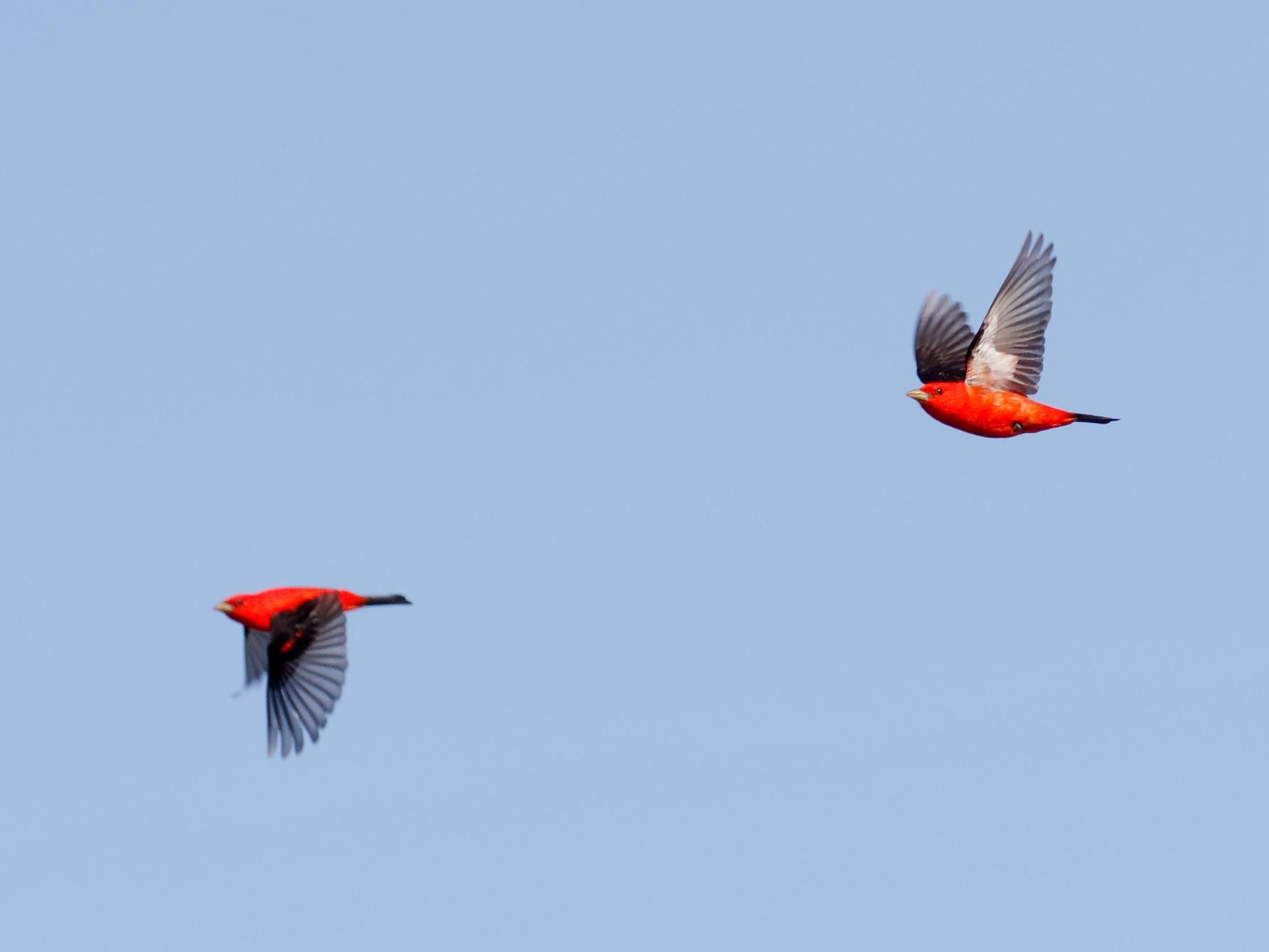 Scarlet Tanager - Steve Kolbe