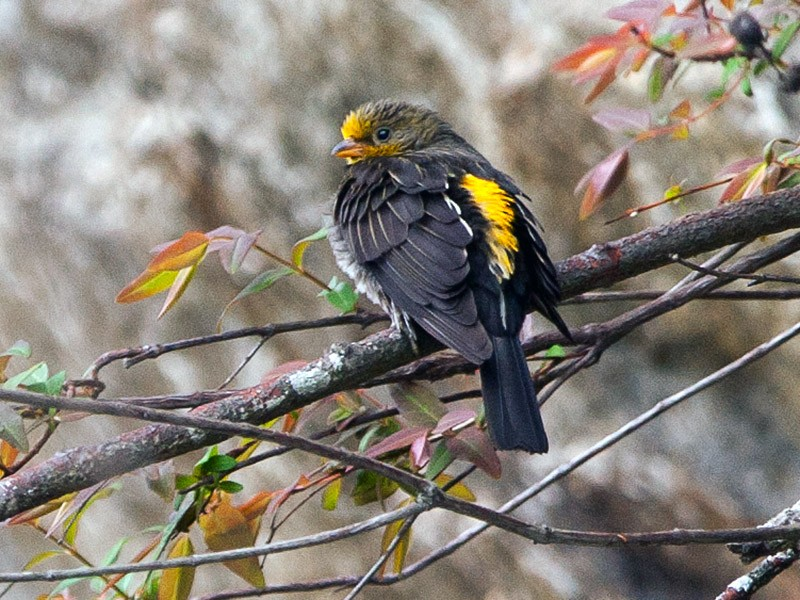 Yellow-rumped Honeyguide - Sathyan Meppayur