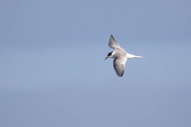 ©Alex Lamoreaux - Arctic Tern