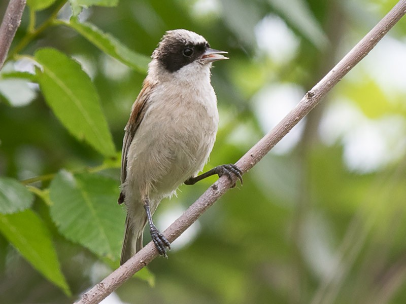 White-crowned Penduline-Tit - Frédéric PELSY