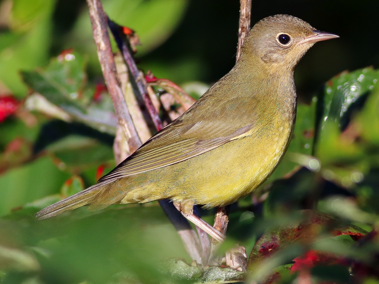 Connecticut Warbler - Nick Tepper