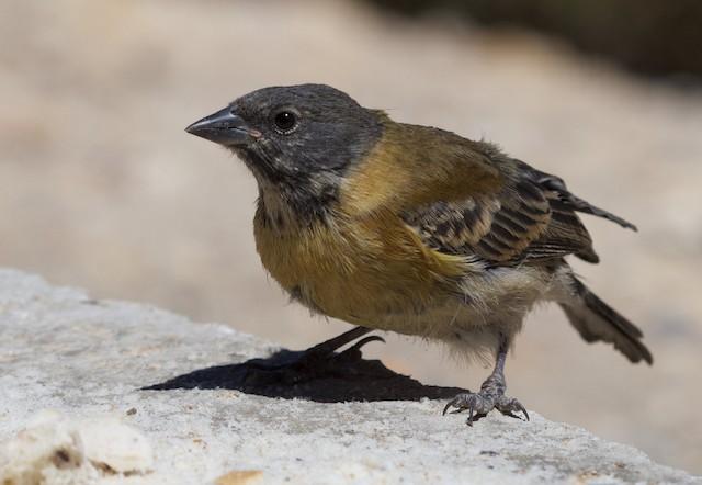 Black-hooded Sierra-Finch