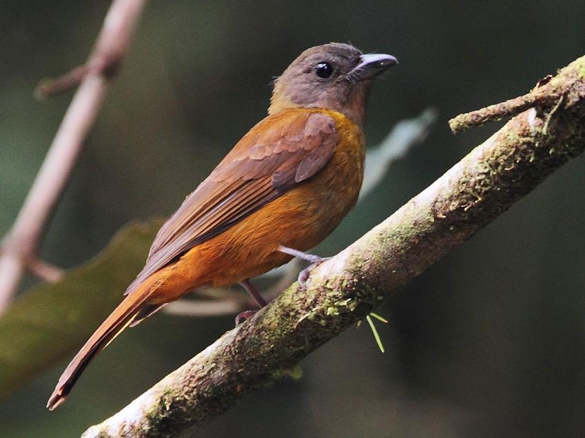 Fulvous Shrike-Tanager - Lorenzo Calcaño