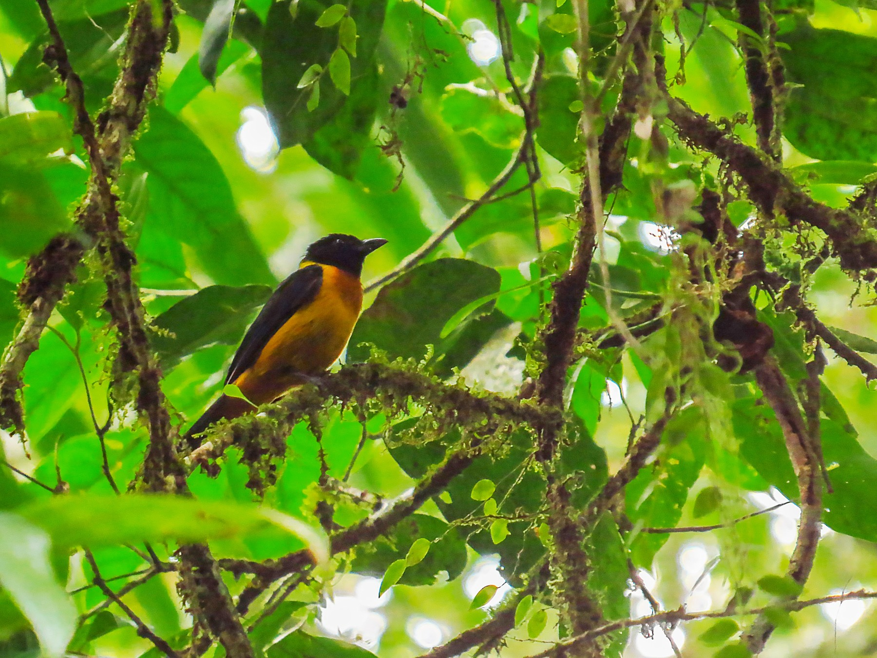 Fulvous Shrike-Tanager - Jorge Muñoz García   CAQUETA BIRDING