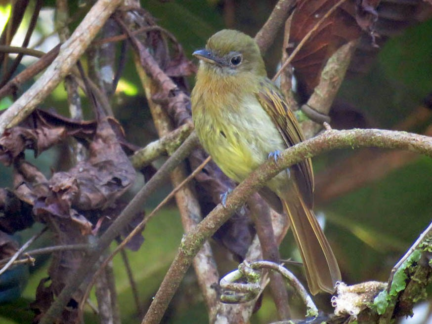 Fulvous-breasted Flatbill - Adrian Antunez