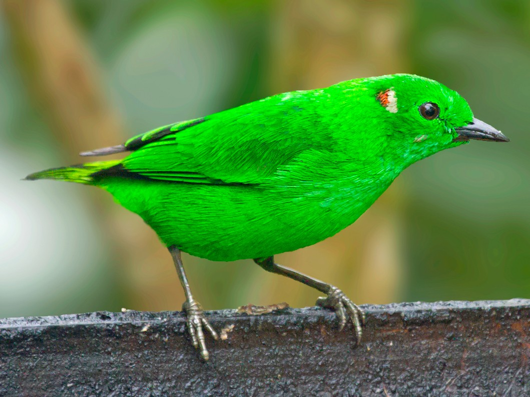 Glistening-green Tanager - Jon Lowes
