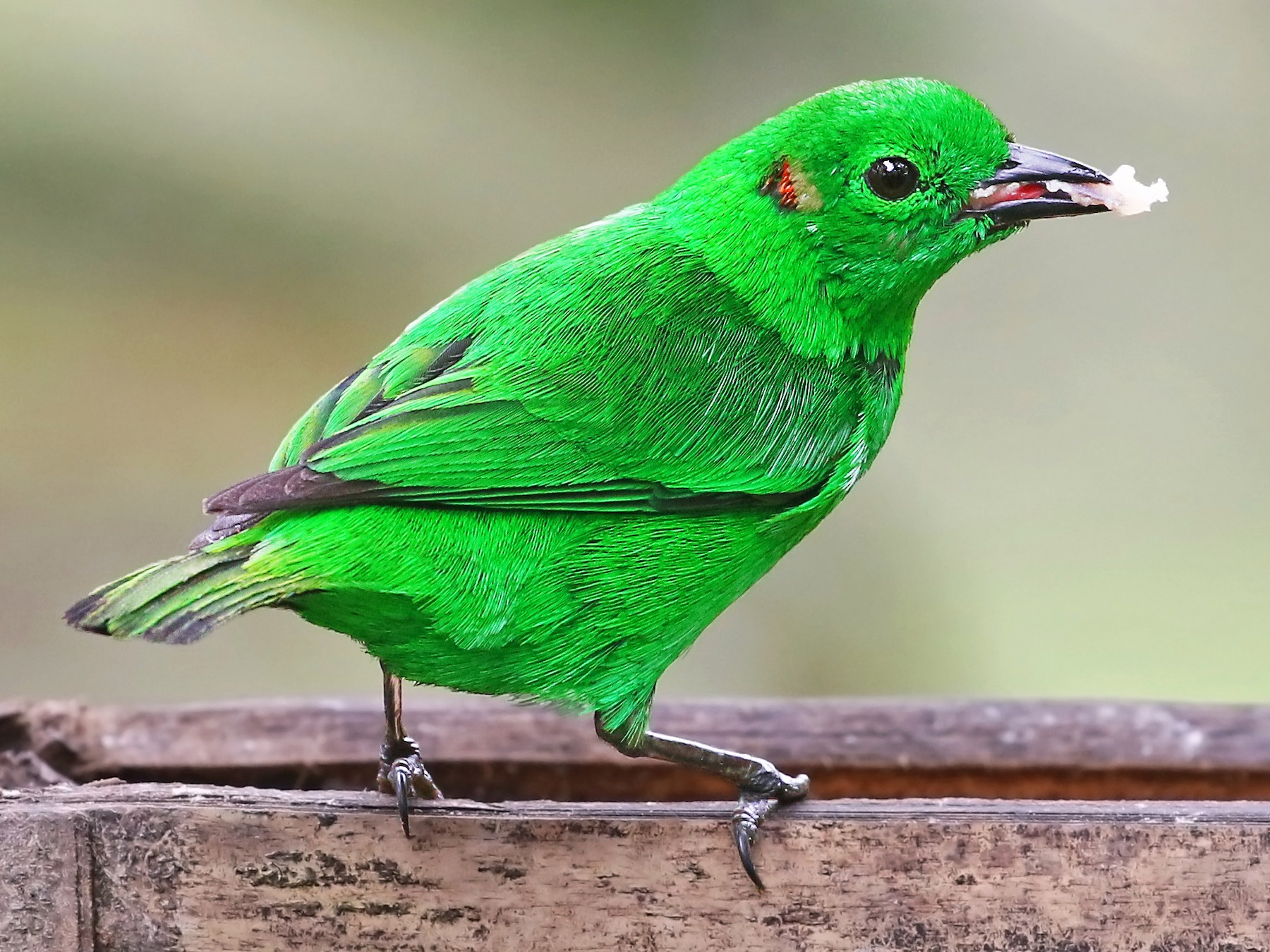 Glistening-green Tanager - Andrew Spencer