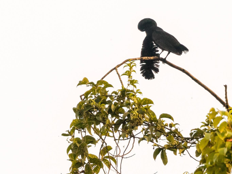 Long-wattled Umbrellabird - Rob Felix