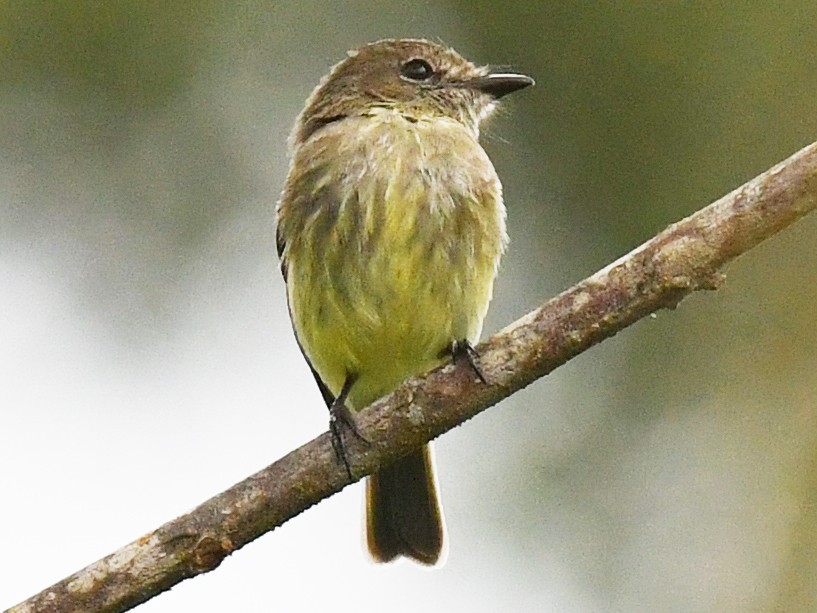 Olive-chested Flycatcher - Warren Whaley