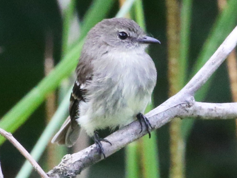 Olive-chested Flycatcher - Carol Ortenzio