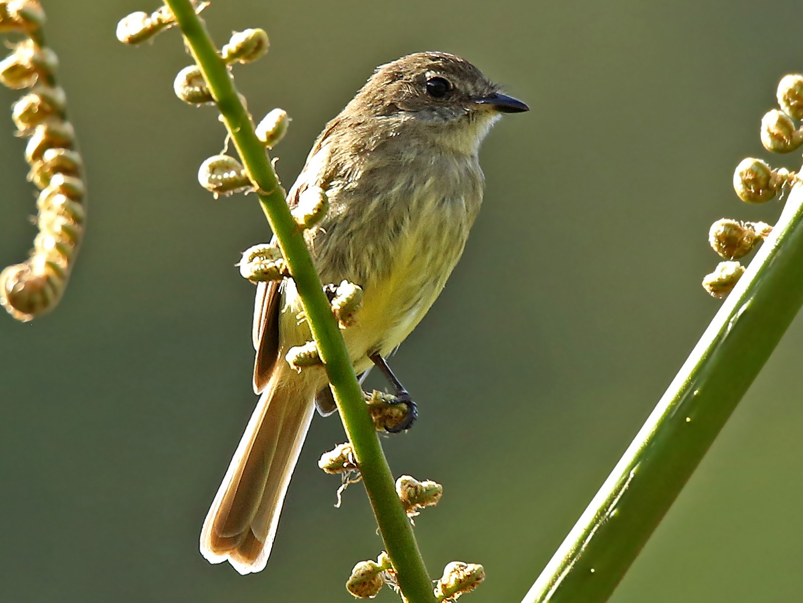Olive-chested Flycatcher - Roger Ahlman