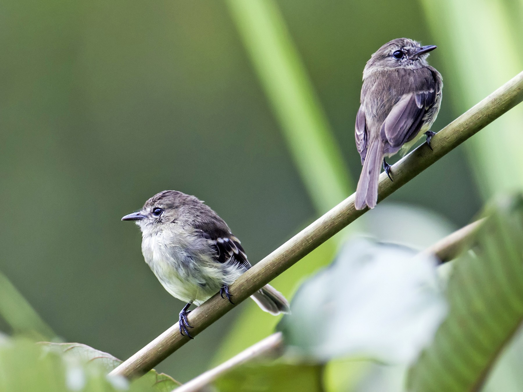 Olive-chested Flycatcher - Nick Athanas
