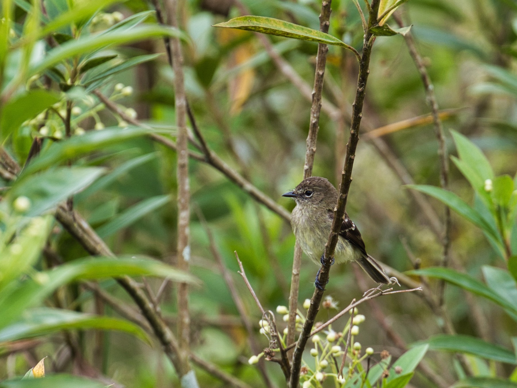 Olive-chested Flycatcher - Eric Carpenter
