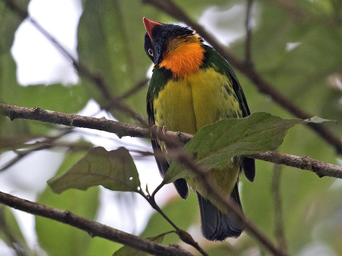 Orange-breasted Fruiteater - Sam Woods